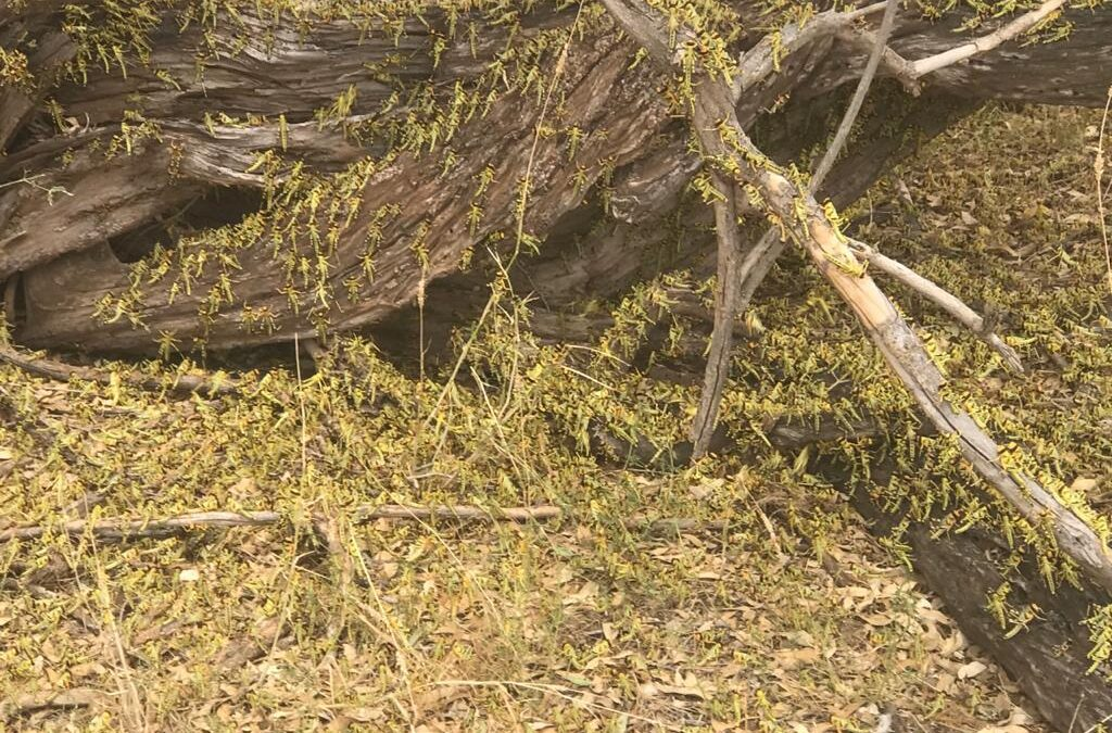 BAC Helicopters Carries Out Emergency Desert Locust Survey in Kenya